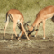 Rosslyn Safaris